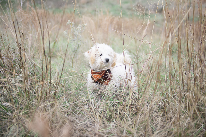 ©Persuasion Photography | lifestyle dog photography, Memphis, TN, puppy in the field,
