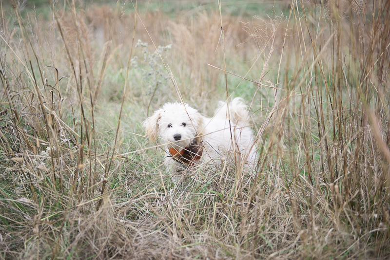 Labradoodle puppy in field, lifestyle dog photography | ©Persuasion Photography,