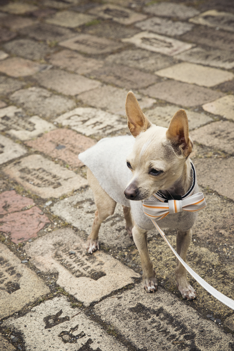 fawn Chihuahua wearing orange and taupe striped bow tie and taupe sweater, wedding dog