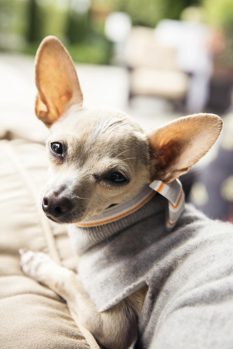 close up of a Chihuahua, wedding dog | ©Stephanie Cristalli Photography