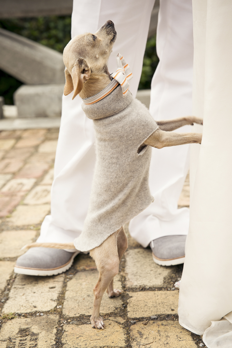 Chihuahua standing on his hind legs | ©Stephanie Cristalli Photography | dog-friendly wedding