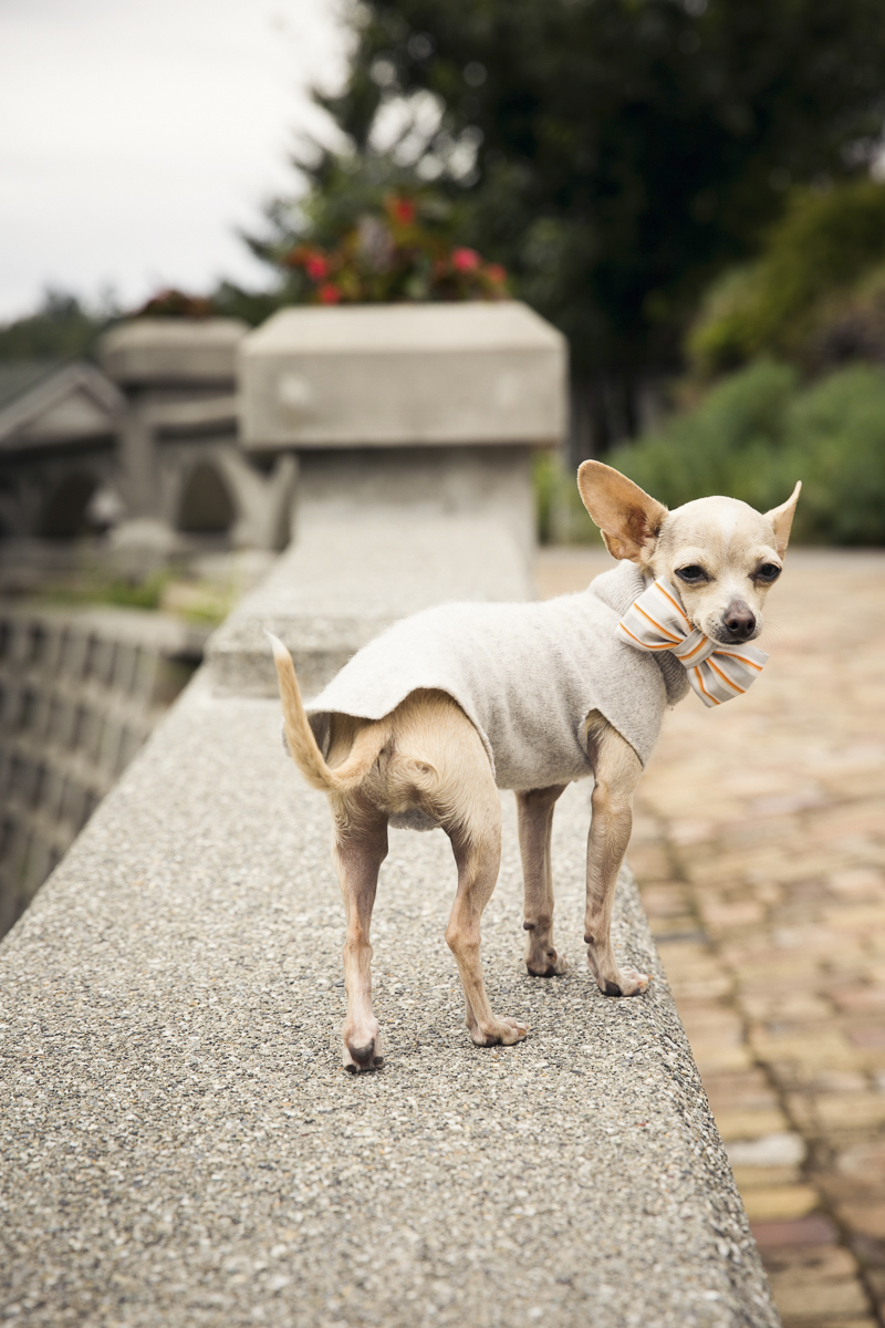 well dressed small dog standing on retainer wall | ©Stephanie Cristalli Photography | dog-friendly wedding