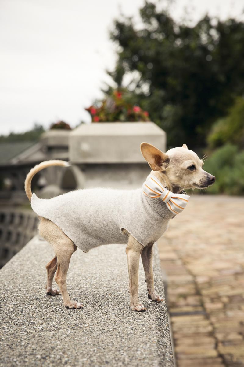 cute dog wearing orange striped bow tie and taupe sweater, wedding dog   ©Stephanie Cristalli Photography