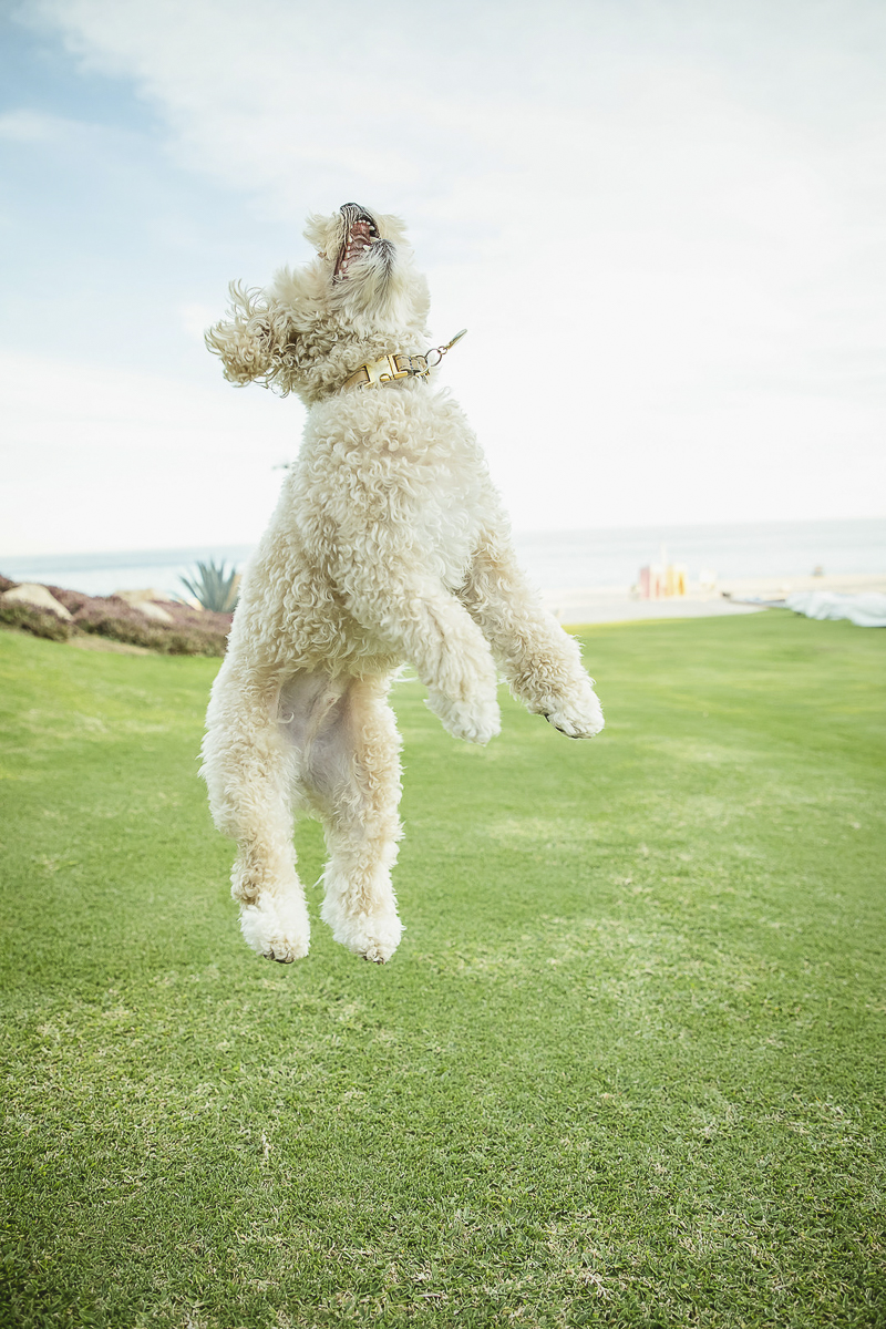 small mixed breed jumping | ©Daniel Pireh Photographer | Las Ventanas al Paraiso, dog-friendly resort