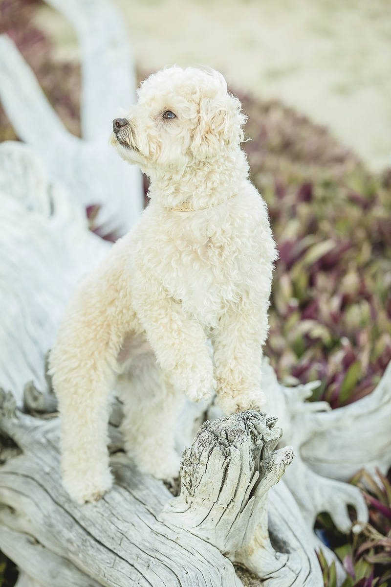 small white dog perched on driftwood, lifestyle dog photography Cabo San Lucas, Mexico, ©Daniel Pireh Photographer