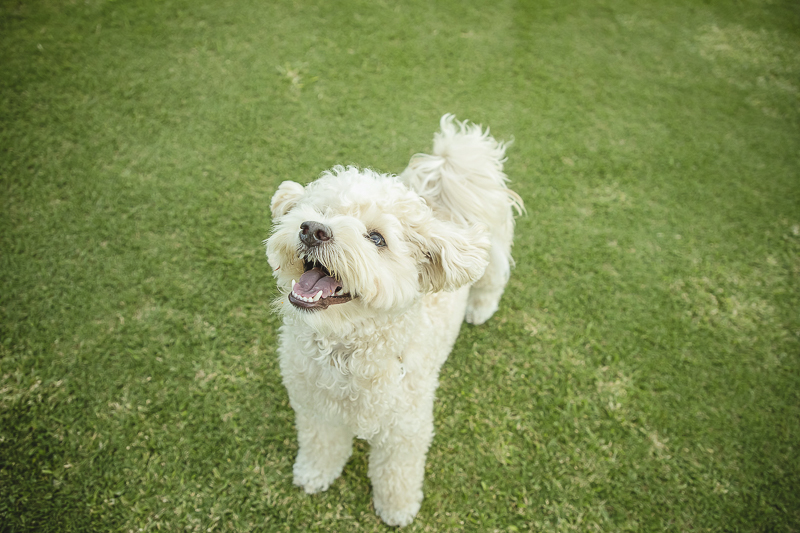 cute poodle mix standing on grass | Las Ventanas al Paraiso, dog-friendly resort | Daniel Pireh Photographer