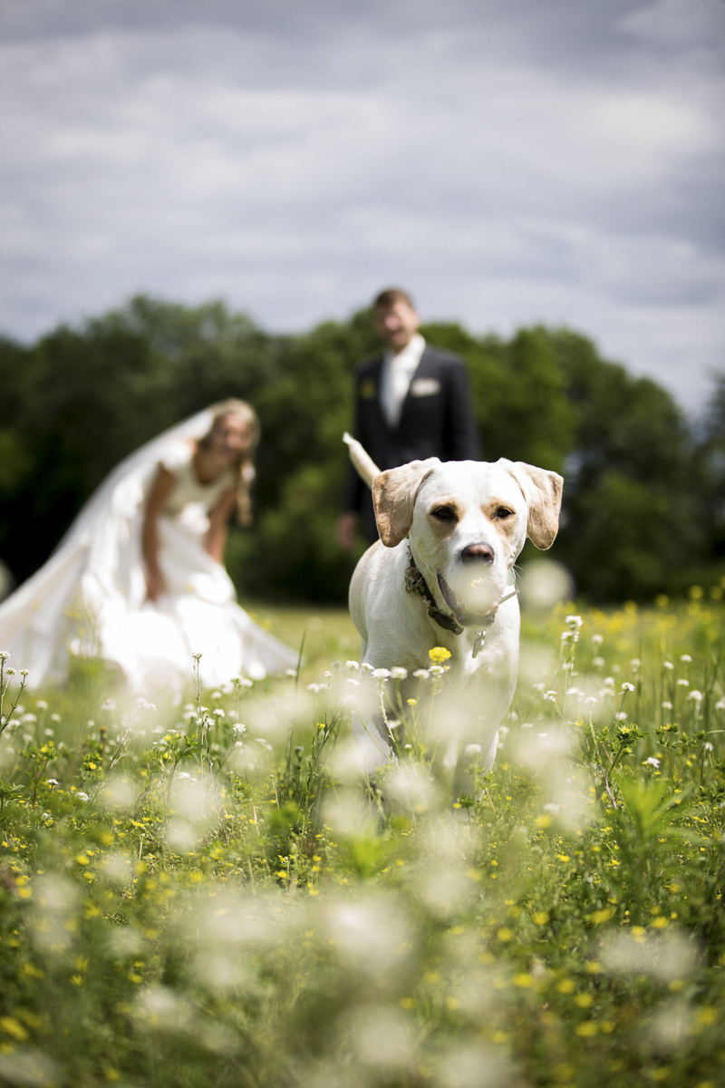 cute mixed breed standing in field, bride and groom behind her, dogs in weddings ©Penny Photographic | Minnesota wedding photography