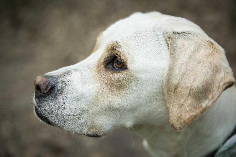 ©Penny Photographics   beautiful yellow lab mix, lifestyle dog photography, MN pet photographer