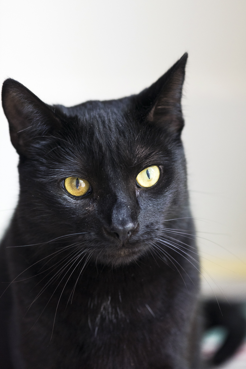 handsome black cat | Syracuse lifestyle cat photography, Alice G Patterson Photography