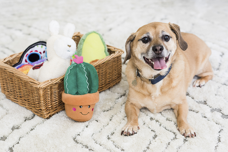 Puggle mix and cute ZippyPaws Fiesta toys, pet product photographer