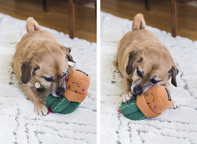 mixed breed chewing on Zippypaws toy | ©Alice G Patterson Photography, Syracuse Dog Photographer