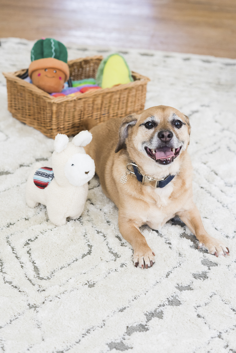 Puggle excited for new toys | ©Alice G Patterson Photography | Syracuse Pet Portraits