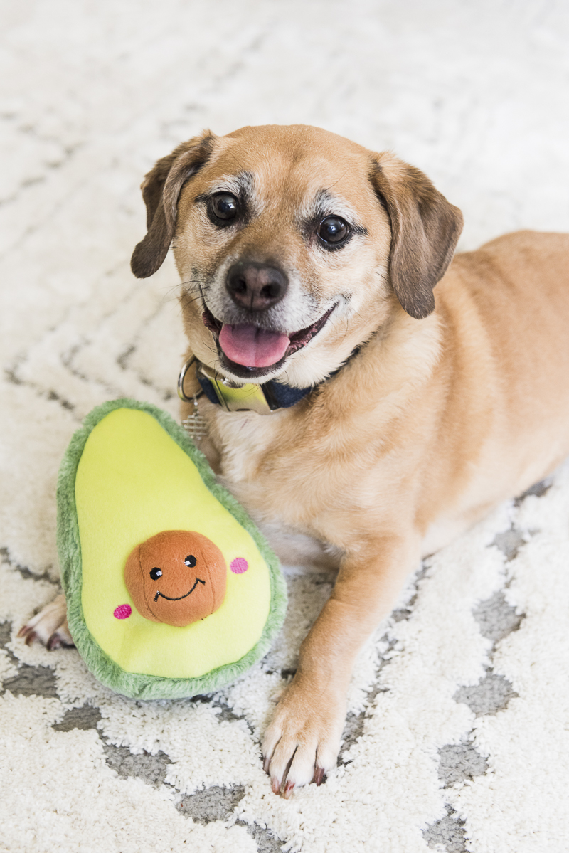 Cute stuffed avocado dog toy and Puggle, lifestyle Syracuse pet photography