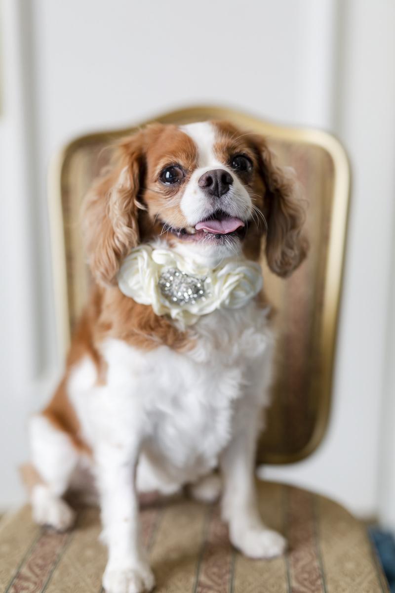 cute wedding dog, King Charles Cavalier Spaniel, The Jefferson Hotel, Richmond, VA