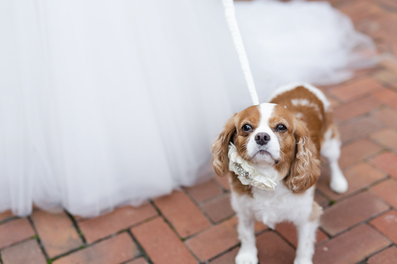 King Charles Cavalier Spaniel next to bride, ©Luke & Ashley Photography | wedding dog, King Charles Cavalier Spaniel