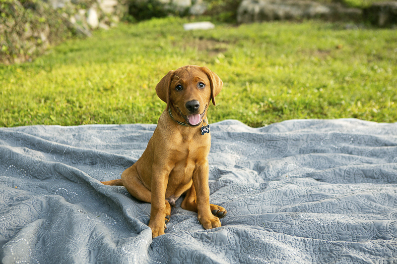 adorable lab puppy sitting on blanket | ©Mandy Whitley Photography