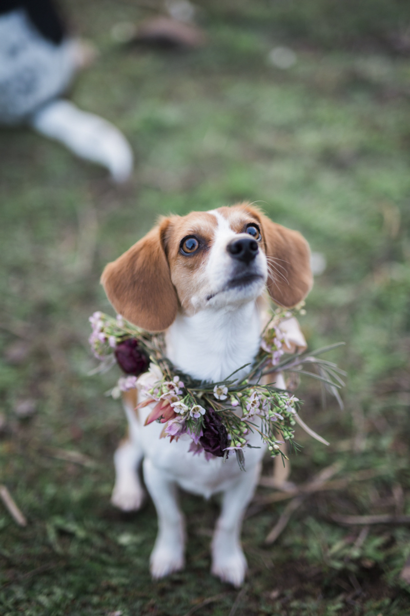 cute Beagle-Chihuahua mix wearing floral collar, ©My Sun And Stars | San Diego. California pet photography