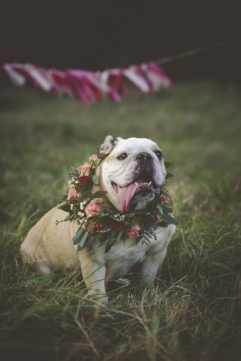 dog birthday celebration, English Buldog wearing floral wreath ©Portraits of Blessings