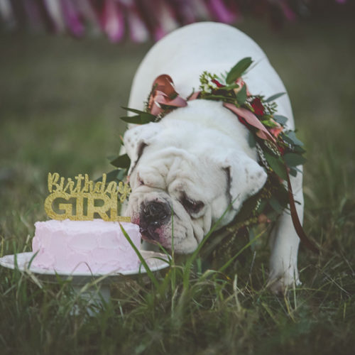 Dog Pawty: Lovely Cake Smash for English Bulldogs