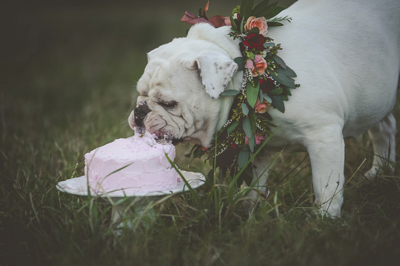 dogwhite English Buldog wearing floral wreath eating pink cake