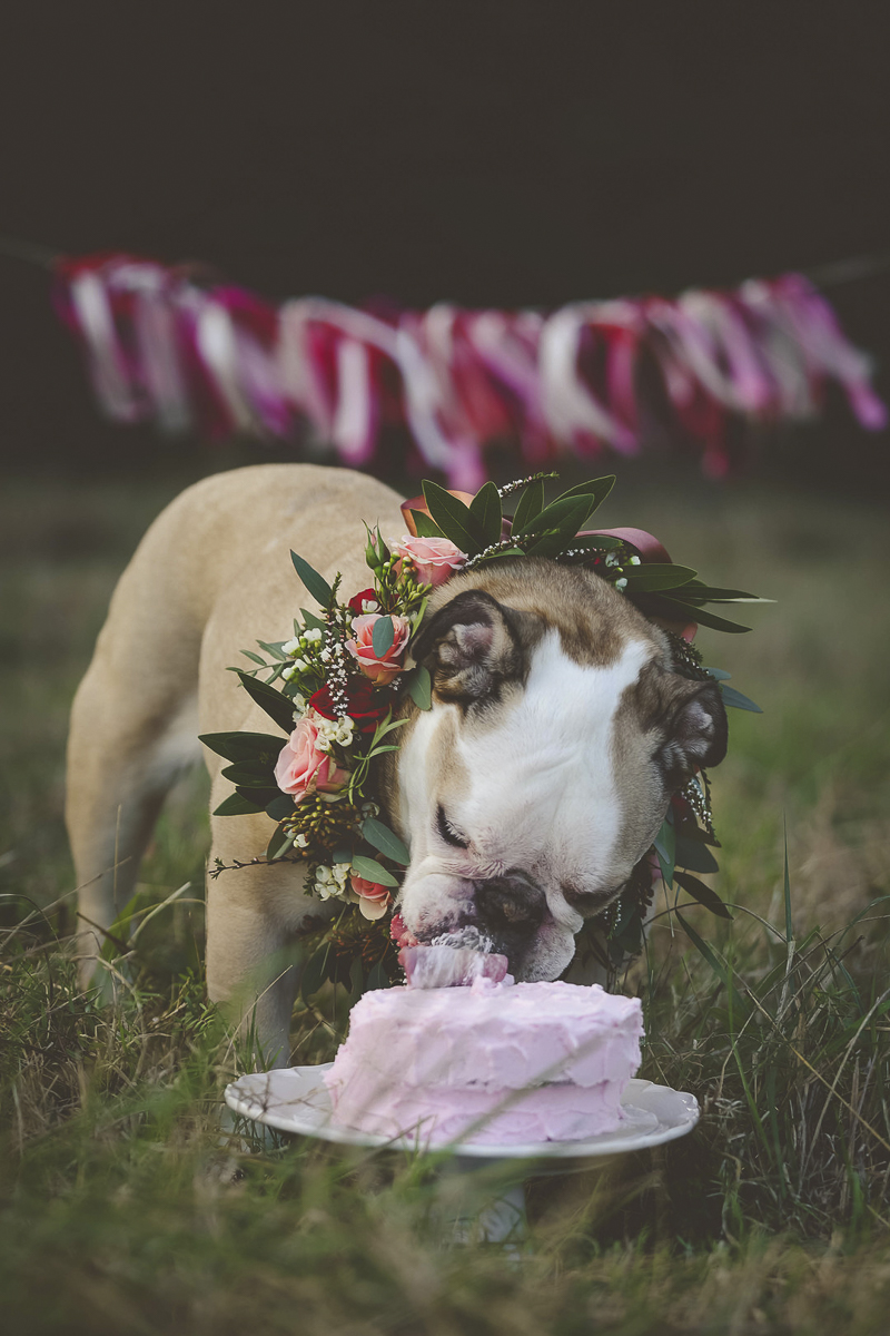 dog birthday celebration, English Buldog wearing floral collar eating pink cake | ©Portraits of Blessings | Houston, Texas