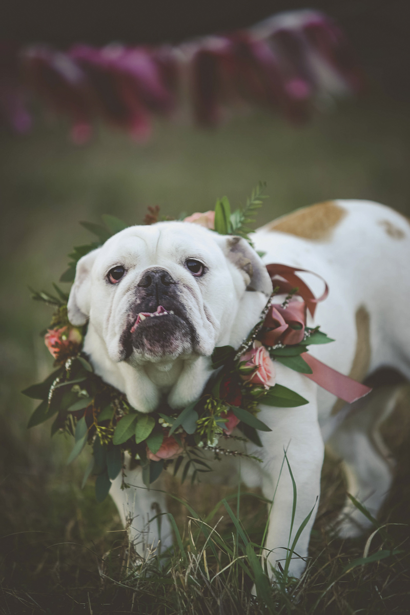 dog birthday celebration, English Buldog wearing floral wreath | ©Portraits of Blessings |