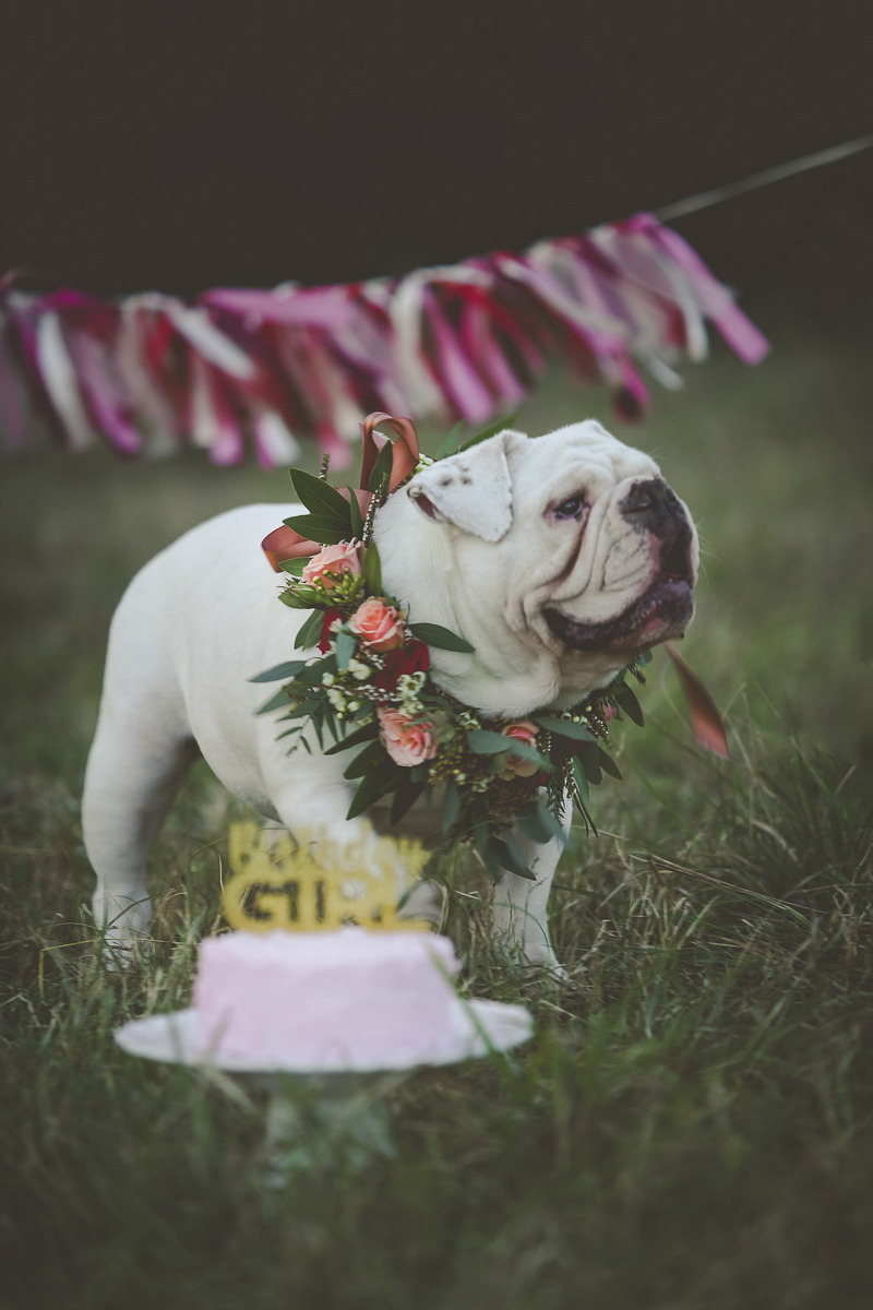 Dog Pawty, English Buldog wearing floral wreath and pink cake, on location dog portraits ©Portraits of Blessings