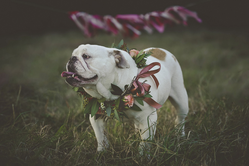 dog birthday celebration, adorable English Buldog wearing floral wreath | ©Portraits of Blessings