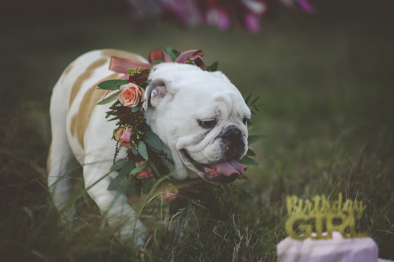 Dog Party, English Buldog wearing floral collar©Portraits of Blessings | lifestyle pet photography, Houston, Texas