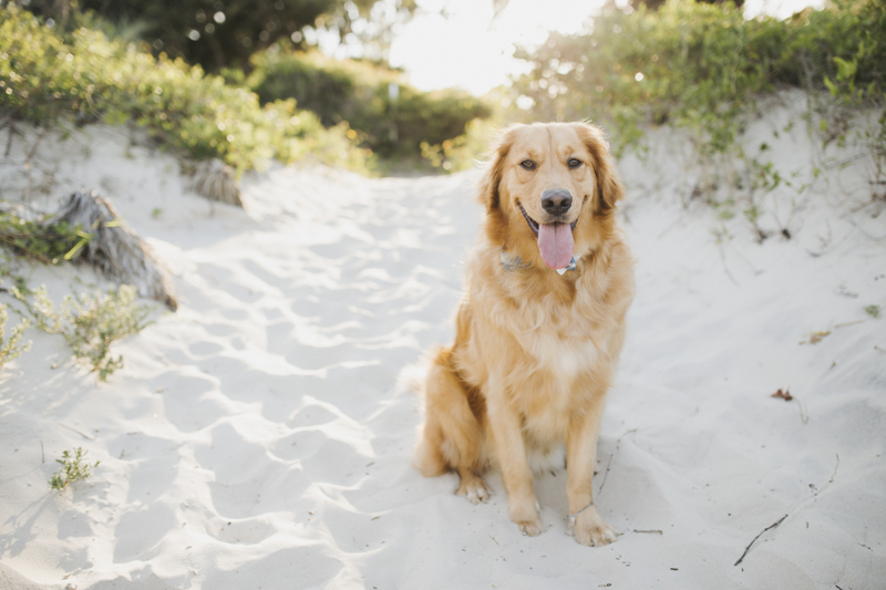 handsome Golden Retriever sitting in the sand, ©Rainey Gregg Photography