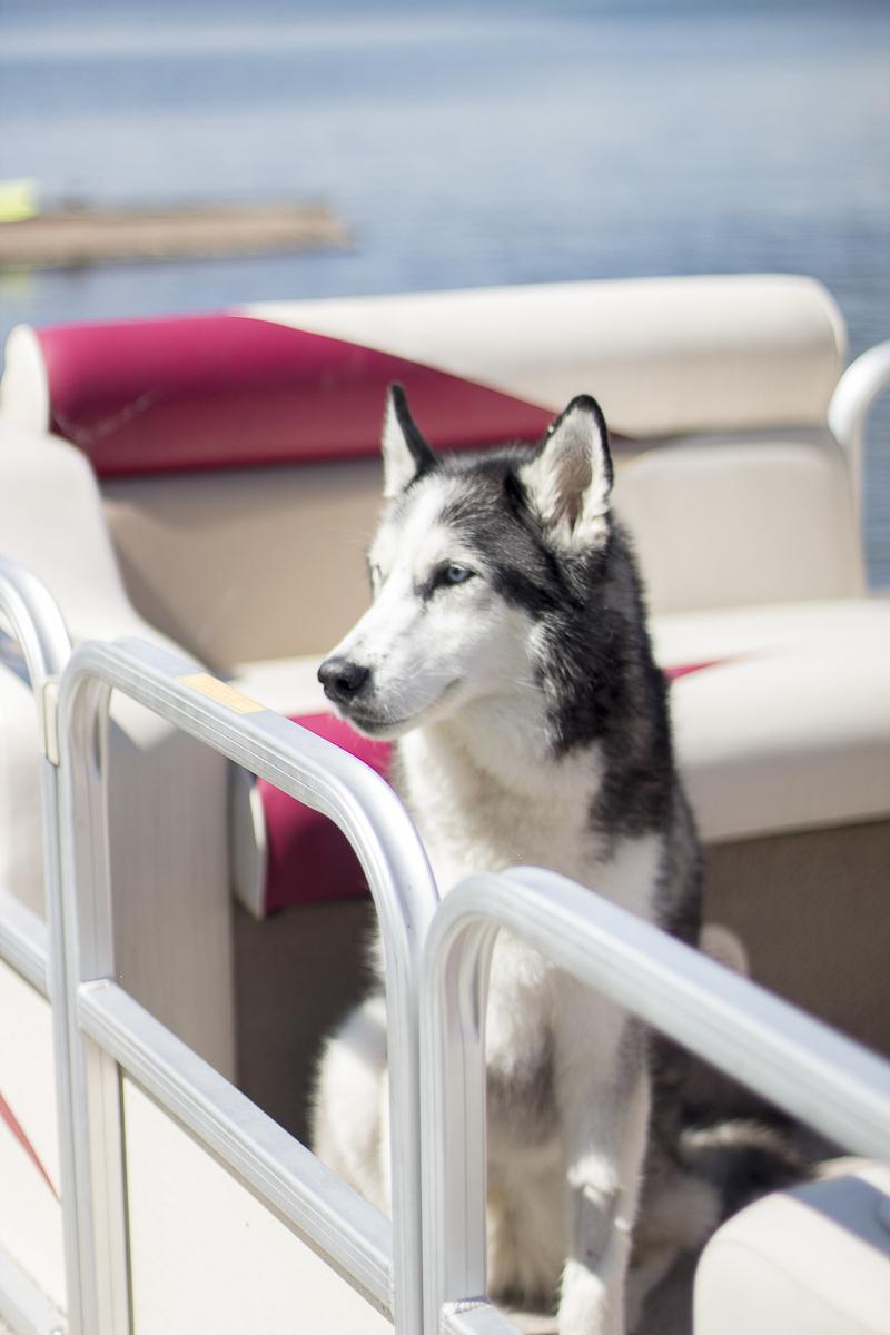 Husky sitting on boat ©Salute Life Photography, Fort Drum, NY, lifestyle dog photography