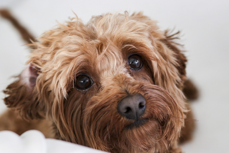 cute apricot Cockapoo, mixed breed dog, Miami studio pet portraits | ©Virge Simone Images