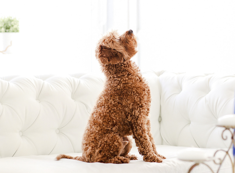 curly haired dog sitting on sofa waiting for treat or toy, ©Virge Simone Images | Miami dog portraits