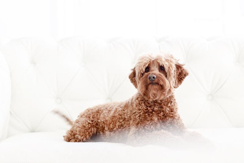 small dog lying on white sofa, professional pet photography ©Virge Simone Images