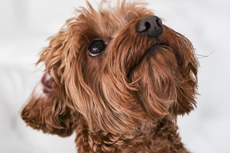 adorable apricot Cockapoo, ©Virge Simone Images | Miami dog portraits