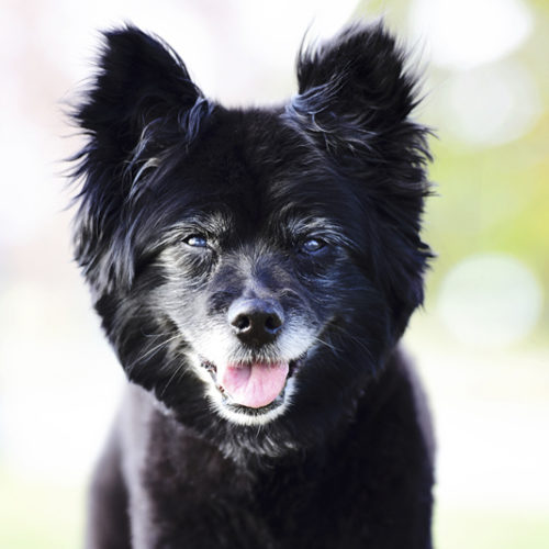 Happy Tails:  Midnight The Pomeranian Mix In Denver, CO