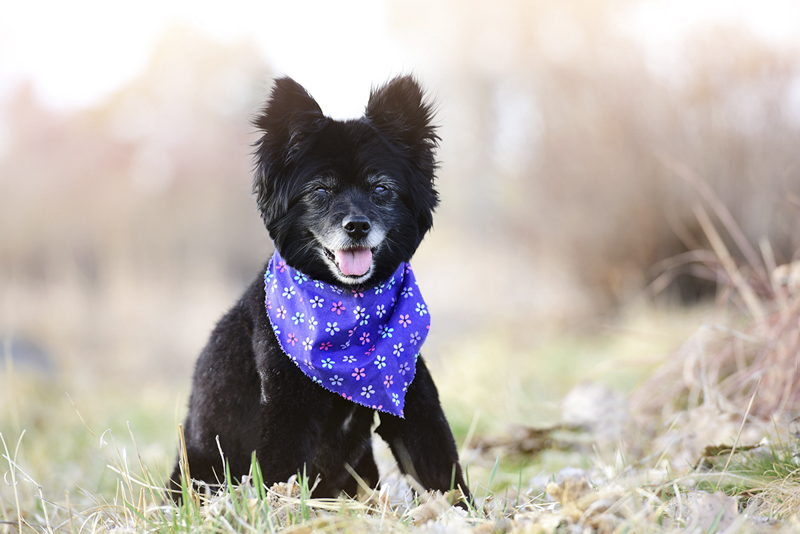 black senior dog wearing purple bandana ©Wag Your Tail Photography | Denver pet photography
