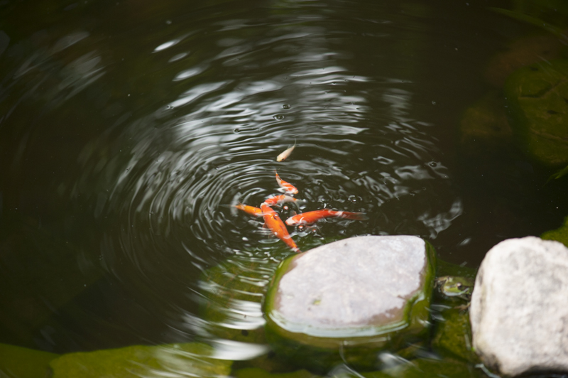 goldfish and frog in pond