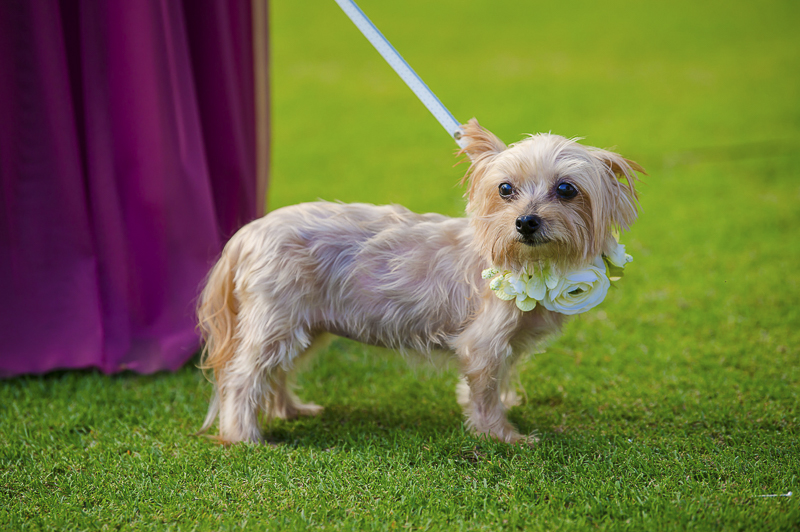 cute wedding dog, Shih Tzu-Yorkie mix | ©Toni Jade Photography | adorable wedding dog