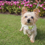 Best (Wedding) Dog:  Trixie the Shih Tzu-Yorkie Mix