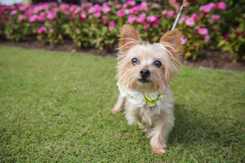 Adorable Shih-Tzu Yorkie mix wearing floral collar, wedding dog | ©Toni Jade Photography