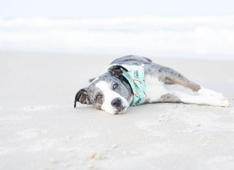 Catahoula mix lying on the beach, tired dog, ©1416 Photography, Marineland Beach Florida