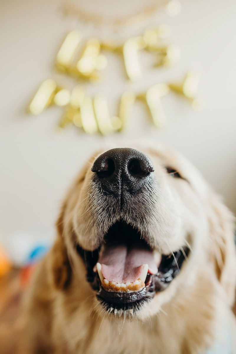©Alexa Nahas Photography | Birthday cake smash for Golden Retriever