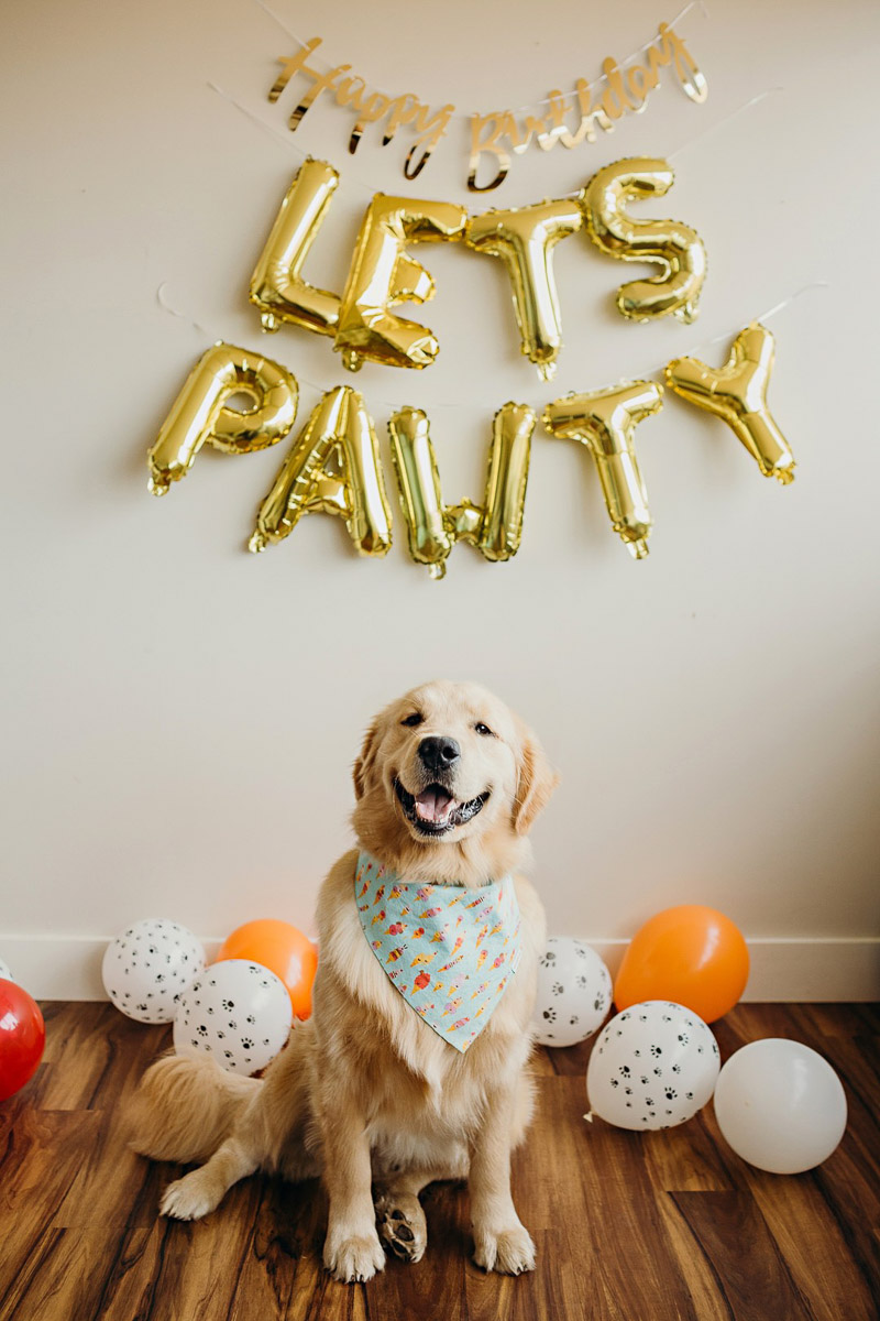 Dog's first birthday cake smash, happy Golden Retriever | ©Alexa Nahas Photography