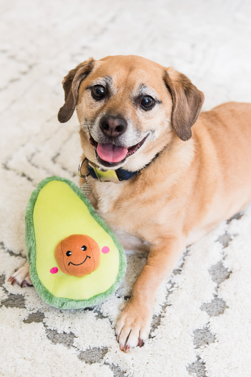 Happy Puggle with toy avocado, ©Alice G Patterson Photography | Syracuse lifestyle dog photography