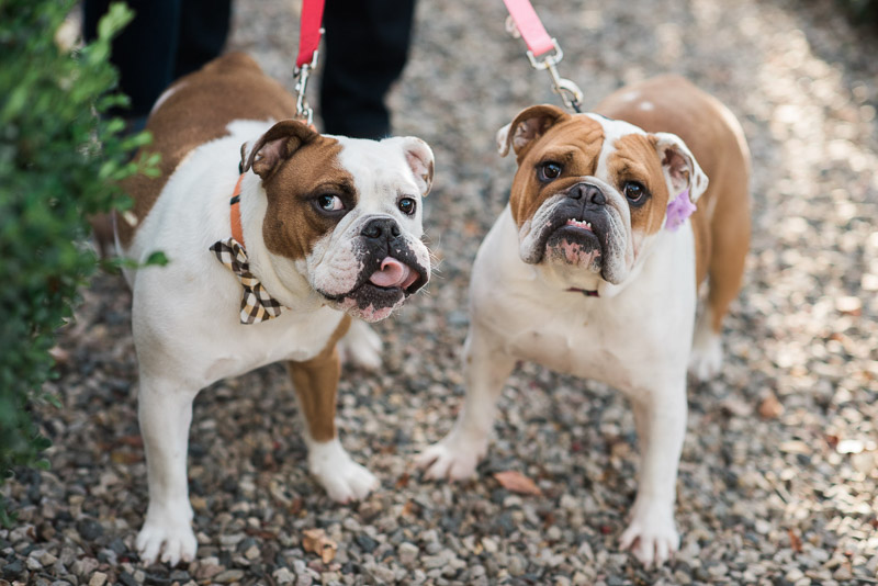 Two cute English Bulldogs, bow tie for dogs, flower collar accessory, ©Allie Siarto & Co. Photography,