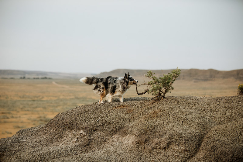 Aussie mix carrying stick | ©Jackie Hall Photography | dog-friendly engagement portraits, Big Muddy Valley, SK, Canada