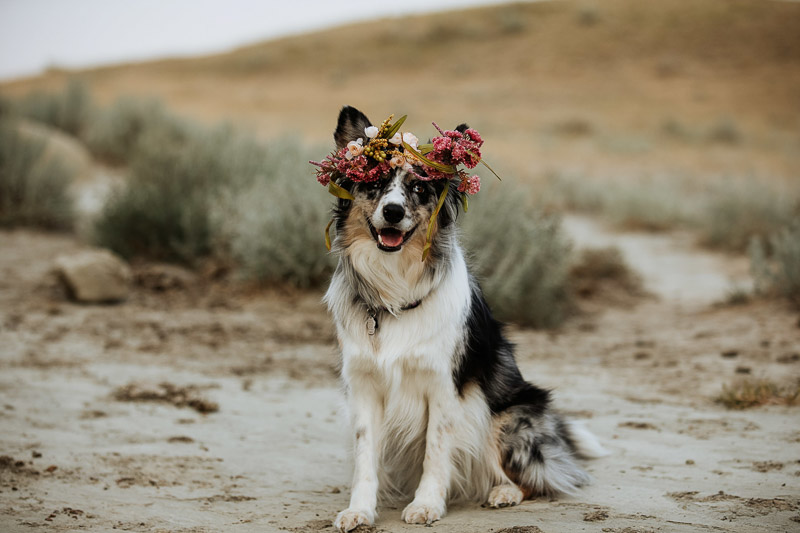 beautiful Australian Shepherd/Border Collie mix wearing floral crown in Big Muddy Valley, dog-friendly engagement photo ideas, ©Jackie Hall Photography |