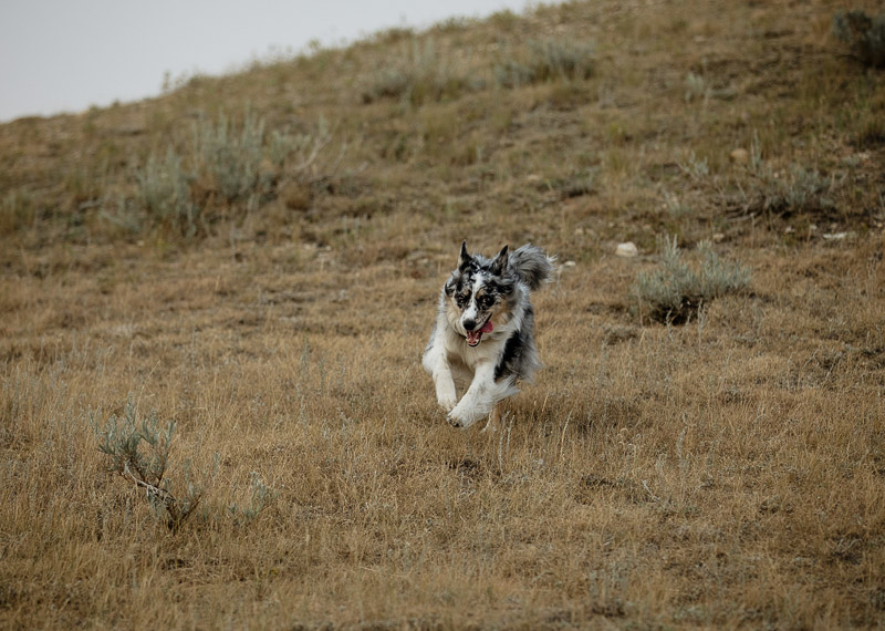Australian Shepherd, Border Collie mix running down hill, ©Jackie Hall Photography | dog-friendly engagement portraits, Big Muddy Valley, SK, Canada