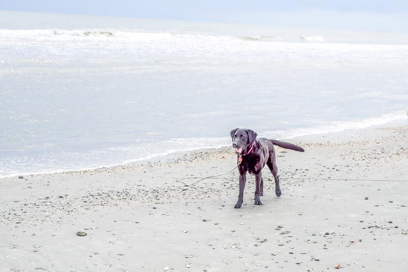 black Lab on the beach, dog-friendly beach, ©Karen Ann Photography | lifestyle dog photography